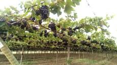 Vista de uma das fazendas com cultivo de uva na área de estudo, em Lagoa Grande (PE). Arquivo projeto/Patricia Rebouças