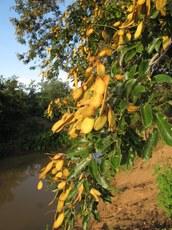 Falso-ingá, espécie vegetal encontrada na Unidade de Conservação (UC) Refúgio de Vida Silvestre Serras Caatingueiras.